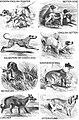 1800s-rampur-hound 1903 03.jpg