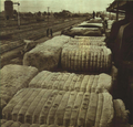 1952-11 1952年山西棉花丰收.png