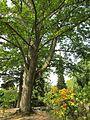 20120821Ahorn Friedhof Hockenheim3.jpg