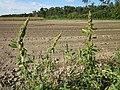 20120902Amaranthus retroflexus2.jpg