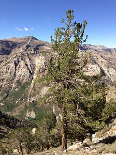 2013-09-09 11 00 19 Limber Pine at 10350 feet along the route to Verdi Peaks from Terraces Picnic Area in Lamoille Canyon.jpg