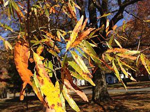 Quercus phellos - Autumn foliage