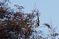 20140105 012 Kessel Weerdbeemden Aalscholver (11785341924).jpg