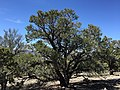 2015-04-27 13 00 01 An older Single-leaf Pinyon on the north wall of Maverick Canyon, Nevada.jpg