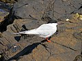 2016-08-17 Sterna dougallii, St Marys Island, Northumberland 02.jpg
