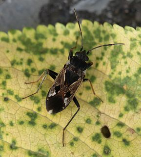 <i>Rhyparochromus vulgaris</i> Species of true bug