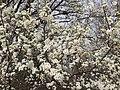 2017-02-28 14 42 35 Callery Pear blossoms in Franklin Farm Park in the Franklin Farm section of Oak Hill, Fairfax County, Virginia.jpg