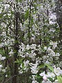2017-04-12 09 35 50 Crabapple flowers in a woodland within the Chantilly Highlands section of Oak Hill, Fairfax County, Virginia.jpg