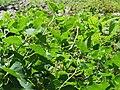 20170706Aristolochia clematitis1.jpg