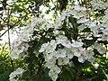 2018-05-24 Blackthorn Blossom (Prunus spinosa), Beeston Regis.JPG