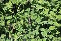 2019-06 Kalamalka Lake Provincial Park (02) Limenitis lorquini.jpg