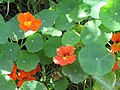 20 May 2016, Tropaeolum majus in the Banks of Caminho de Albufeira, Vale Navio..JPG