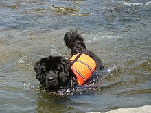 Life Expectancy Newfoundland Dog Breed