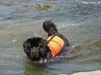 Newfoundland dog - Newfoundland river rescue unit's dog in action