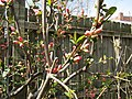 21 March 2010 Quince Buds - panoramio.jpg