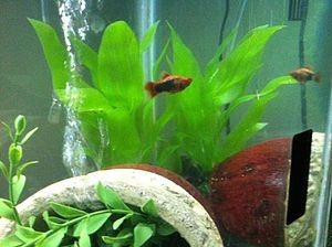 Platy (fish) - Variant of 24 karat gold platy - male, in aquarium