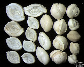 Foraminifera - Image: 3339d Croatie Pag