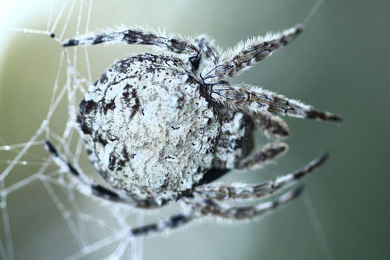 https://upload.wikimedia.org/wikipedia/commons/thumb/6/67/3345_Bark_Spider_Exo.JPG/800px-3345_Bark_Spider_Exo.JPG