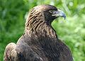 4587 golden eagle portrait munsel odfw (4438951824).jpg