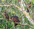 4 day trip to La Selva Lodge on the Napo River in the Amazon jungle of E. Ecuador - Hoatzin (Opisthocomus hoazin) - (26798137561).jpg