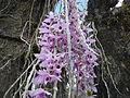 5604Camachile Doña Remedios Trinidad Orchids Bulacanfvf 06.JPG