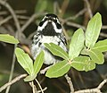 839 - BLACK-THROATED GRAY WARBLER (7-4-2018) timbercamp campground, tonto forest, gila co, az -01 (43174998502).jpg