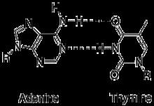 paire de bases — wikipédia diagram of thymine
