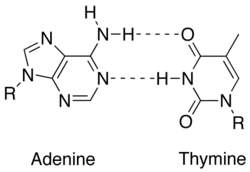 adenine and thymine relationship help