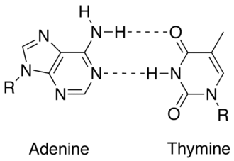 Complementarity (molecular biology) - Match up between two DNA bases (adenine and thymine) showing hydrogen bonds (dashed lines) holding them together