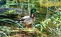 A Duck (108350715).jpeg