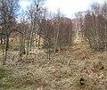 A Rannoch birkwood - geograph.org.uk - 376874.jpg