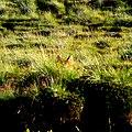 A Tibetan wolf peeping from behind grass.jpg