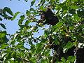 A bee swarm, Ganza (İsmayilli).jpg