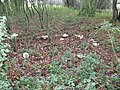 A carousel of Parasol fungi - geograph.org.uk - 1578965.jpg