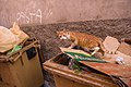 A feral cat in Marrakesh-3.jpg