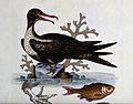 A greater frigate-bird (Fregata minor) and sea bass. Coloure Wellcome V0022813.jpg