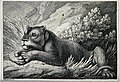 A lioness lying in some grass. Etching by W-S Howitt after h Wellcome V0021506.jpg