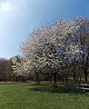 A pair of flowering trees looking north-west at the west of Wollaton Hall Park, Nottingham, England.jpg