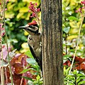 A young Great Spotted Woodpecker found already the way to our garden at the second day it was flew out^ It can be recognised by its totally red cap. Males have only a red backhead and females don't have red at their hea - panoramio.jpg