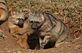 Aardwolf, Proteles cristata, at Lion and Rhino Reserve, Gauteng, South Africa (47987259696).jpg