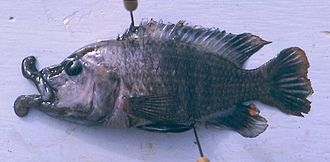 Abactochromis - Image: Abactochromis labrosus