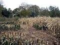 Abandoned crops and Little Up Somborne Wood - geograph.org.uk - 84899.jpg