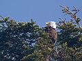Abies grandis - Haliaeetus leucocephalus.jpg