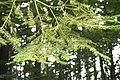Abies grandis JPG1b.jpg