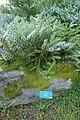 Abies koreana-Jardins de Callunes (1).jpg