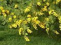Acacia karroo, blomhofies, Jimmy Aves Park, b.jpg