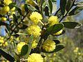 Acacia rostriformis.jpg