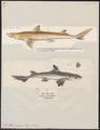 Acanthias vulgaris - 1700-1880 - Print - Iconographia Zoologica - Special Collections University of Amsterdam - UBA01 IZ14100147.tif