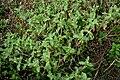Acanthospermum hispidum W IMG 2209.jpg