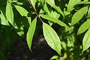 Acer mandshuricum leaf